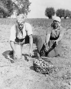 Potetinnhøsting